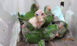 Baby Quaker Parrots: green $200 / blue $350 The BirdWalk 549 Liberty Street Painesville, OH 44077 440 354-2003
