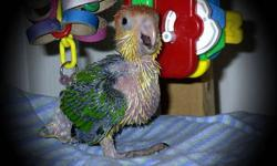 We are hand feeding several green Quakers at this time. These birds were hatched on 9-30-12 and will be weaned & ready to go by the end of December. A 100.00 deposit will hold one for you, with a 225.00 total cost. With each bird you get... -care sheet