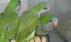 I HAVE SOME BABY QUAKER PARROTS ,HAND FEED 2 TIMES A DAY, $150 EACH (green quakers). and .(blue quakers) $350 each FIRM PRICE. ...EL PRECIO ES FIRME!!! CAL. 8328812570 RAMSES ... HABLO ESPANOL