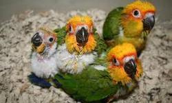 BABY SUN CONURE !!! DANAS BIRDS!!! SUNSHINE FLEA MARKET!!! BOOTH 16 B,C,D !!! BEST PRICES IN TOWN !!!