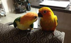 I have a healthy SUPER SWEET baby sun conure two or one hand feeding at day Rehoming fee $ 140 Ph 786 527 46 36
