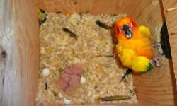 Taking deposits on Sun conure babies we have. $400.00 each baby. They will be hand fed And weaned onto pellets, a good quality seed, fruits and veggies. We have a contract that we can send through the mail for anyone that is interested in any of our