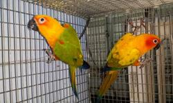 I have a couple of baby sun conures available. Ages 6-9 weeks old. Still taking formula. Very friendly. Waiting to go to their permanent home. Call text or email 347-336-5972. $325 each or two for $600