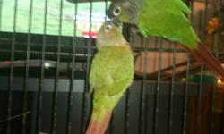 We have a clutch of 5 Green Cheek Conures available. You must be an experienced handfeeder. Turquoise green cheeks are $250.00 and Cinnamon Turquoise are $300.00. Will offer discount if you buy all 5 of them. Call (912) 674-4841 if interested. We do offer