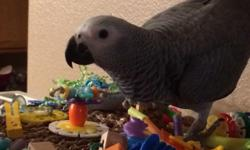 Very cute turquoise green cheek conure baby this is the last baby of the season $300.00 weaned eating Harrison's lots of fruits and veggies Baby is ready thank you ninasparrots 702-812-1108
