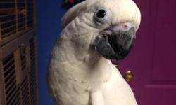 We have 1 beautiful baby umbrella cockatoo that we are hand feeding 3 times a day. If you want to continue the hand feedings we can allow that. Any questions please contact me. Thank You!