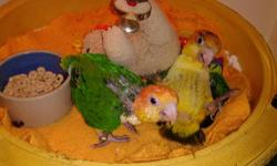 Hatched 6/8/13 hand raised in my home. Cute cuddly quite, great for apartments and condos. Hand raised, health guarantee call. Beth 203-909-4771