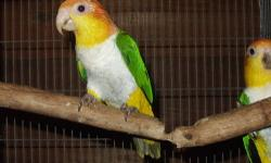 I have baby White Belly Caiques available now, just weaned and ready for new homes now. They are priced at $750. I do ship. Contact Kevin at [email removed] or 561-795-3402