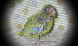 We are hand feeding 1 Yellow female Parrotlet at this time. She was hatched on 12-27-12 and will be ready to leave here around the first part of March. A 100.00 deposit will hold her for you, with a total price of 140.00. *** We do have other colors on