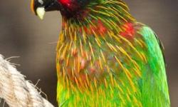 Hand-fed baby Yellow Streaked Lory. Very Playful and full of Energy. Guaranteed to Entertain you for hours. Babies are a bit duller in color. I have attached a picture of what they will look like in about a year after they color out.