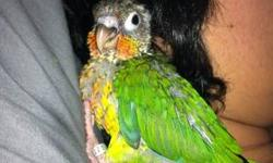 I am currently hand raising a dna'ed female yellow sided green cheek conure. She is around 3 weeks old atm, and just starting to get her pin feathers in. I get my babies from a great breeder that works during the day, so I buy and hand raise myself from