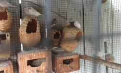I have 5 baby zebra finch available for sale. The ones in the pictures are the one available. If interested email or call 305-803-5008