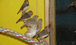 I have three four month old male zebra finches for sale, all are from the same clutch and are the same wild color. Asking $8.00 each or $20.00 for all three. Might trade. Can E-mail or text pictures if needed.