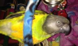 3 year old male senegal Parrot. I just got him a month ago. However he is just not working out. He needs a home where someone can work with him. I upgraded his cage and put a lot of money into him. I am just trying to get him a great home. If you have a
