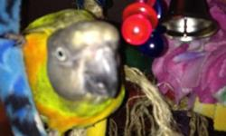 Male senegal parrot two years old. I just don't have time to work with him. I upgraded his cage and perches. He is sweet gives kisses. Does a water bubble sound.