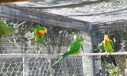 Baraband parakeet for sale for $250 ea or obo I have 3male and 2 female or will trade just let me know what you have call or text me at 786 838 8489
