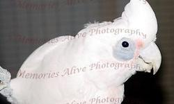 Bailey is available for adoption to a stable forever home with knowledge about cockatoos. Excellent health. Great talker. Well rounded diet. Silly & playful. Would love to see him go to an only bird home. Price includes cage. This ad was posted with the