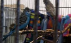"""I have several 16 week old american parakeets $10 and American/English parakeets $15. Many colors. They were handfed and many tame but some need a little more hands on. Once away from the """"flock"""" they will settle down fast. I can do 2 birds and cage for"""