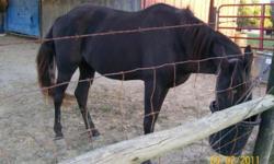 Standing bay roan TWH stallion at stud, Bay Roan 14.3hh Stud fee: $300 live foal guarantee. Http://www.dreamwindsfarm.com