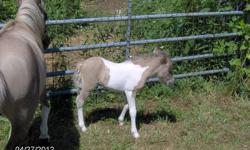 Two lovely miniature horses colts foaled 2012. Sire and Dam here on my farm. One pinto and one solid black. Breeding for 27 years. Reasonably priced.
