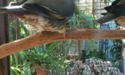 DNA sexed by Avian Biotech, want to trade for a mature female.