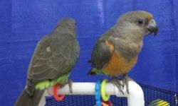 Beautiful African Grey Congo female names Jazi, She is friendly and loving and talks a lot, She loves attention and petting, Would love to get her into a good and loving home. Due to age and health I am having to get rid of a couple of my pets. For more
