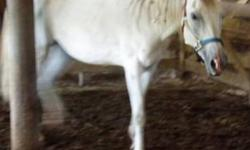 Beautiful Arabian belonging to a granddaughter, who has moved, and I am unable to care for her.