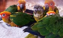 BEAUTIFUL SPRING BABIES......! Lovely, cuddly, friendly, baby sun conures for sale. 6-8 week old...... Friendly, loving, sweet and tame.....$385 call or text 516 972-3860 (no shipping/se habla espanol)