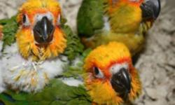 BEAUTIFUL SPRING BABIES......! Lovely baby sun conures for sale. 10 week old......ready to go to their new home!! Kid friendly!! Friendly, loving, sweet and tame.....$390 call or text 516 972-3860 (no shipping)
