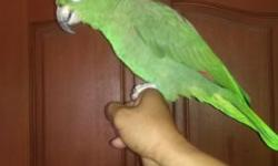 Beautiful Hand Tame Talking Mealy Amazon. (Please No Emails, Only Phone Call 562-965-9167)