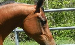 crystal is tall, very pretty and so sweet! she loves people and gets along well with other horses. she is a very easy keeper and is green broke to ride, and is very willing. very soft mouthed and responsive. she just needs a few more miles and she will be