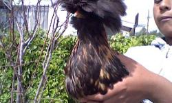A really cool chicken with a big mo hawk. Really entertaining for kids. We can't keep her because we already have to much chickens. If your interested please call me as possible as you can.