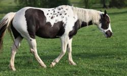 2008 A.P.H.A Reg. Black and White mare,green broke will make excellent all around prospect, she would have some beautiful babies This girl has lots of flash.