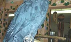 We are in need of a new home for our precious Black Palm Cockatoo. He is about 28 years old and very very sweet. He can be handled by children and adults with ease. We have had him since he was about 2 years old. Please give me a call if you are