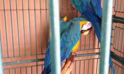 beautiful 6yr old blue and gold macaws in need of a good home with a very loving and caring pet loving family or individual...has to be willing to put in time and attention... $600 for 1 without cage $1200 for 2 with cage