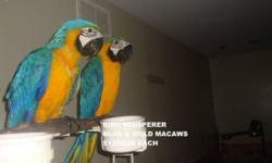We have Beautiful Blue & Gold Macaws Available. $1295.00 each with a $200.00 deposit. I want to say they may be able to go to their new homes in 4 months. We work with everyone who wants to own one of our baby birds so please feel free to contact Myself