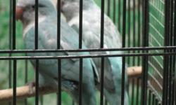 Hi! I have 2 blue Quakers Parrots. No DNA on them. Was hand fed, but now, 3 months old. I also have one Blue Opaline Female (AKA Blue Pallid) Beautiful! Not for pets anymore. I Just didn't have the time to handle and train them, while they were young to