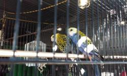 Beautiful Breeding Pair of Blue Mealy Rosella (Proven Pair) $600 a pair No email pls. and Serious Inquiries only please call 562-965-9167 Thanks