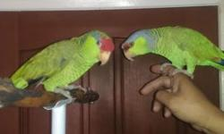 Beautiful Breeding Pair of Lilac Crown and Red Head Amazon (Proven Pair) Talking and Hand Tame.(Please No Emails, Only Phone Call 562-965-9167)