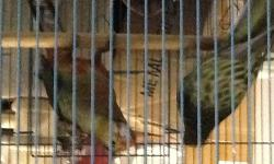 Beautiful Breeding Pair of Stanley Rosella, Possible Split to Lutino Serious inquiries only, Please call only or text, No Emails !