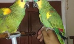 Beautiful Breeding pair of Talking Blue Fronted Amazon (Proven Pair).(Please no emails, Only Phone Call 562-965-9167)