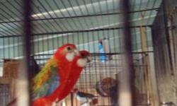 Beautiful Breeding pairs of Eastern Fiery Rosella very prolific breeders and good parents will tend and feed their babies $650 for a pair. Please call or text me at 562-965-9167, No emails pls.