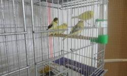 I have a variety of canaries, American Singers, Spanish Timbrado and Gloster, all are very healthy and ready for a new home, Please call Robin if you have any questions - We are located near Jacksonville, FL Canary