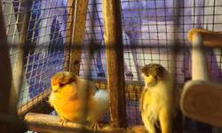 Crested Stafford Varigate Hen. 2.5 yrs. The Female is the canary on the right. Left is a Norwich male, also for sale $100.00.