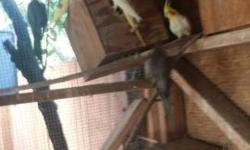 Selling my 6 pairs of cockatiels got lutinos, pies, greys, and pearls selling them in pairs or also single 60 each or 2 for 100 beautiful flock good breeders selling my flock do to moving