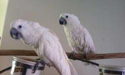 Beautiful Well Trained Cockatoo Parrots for sale at very good prices , these parrots are health positive and understand command , they are not complicated when it comes to feeding for more contact us if interested