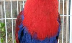 Hello, I have a beautiful 5 year old eclectus parrot. She is not a loud bird. She is not tame or friendly. She is a great breeder bird but her mate got away. She gives me 1-2 babies every 5 months and feeds her babies. This girl was my best breeder.