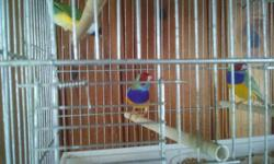 Green back with red and orange head with purple and white chest Yellow back with purple and white chest all finches are 10 months to a year old not related have both males and females green backs are $40.00 each yellow backs are $80.00 each