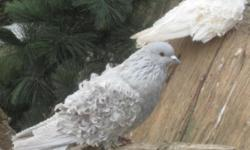 FrillBack Pigeons available. Many colors to choose from, all wormed and ready for this years breeding season. $25 each. Shipping is available with shipping box cost and shipping expense the responsibility of the buyer. We only use Horizon