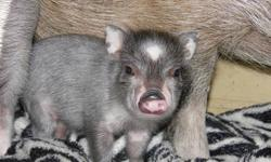 Bhu is a micro-mini pig (Juliana/MicroMini PotBelly). Bhu is 9 months old, 12 inches tall, 25 pounds. His father was under 20 pounds at maturity and his mother, a purebred Juliana, was 30lbs at maturity. You can see pictures of parents on the breeders